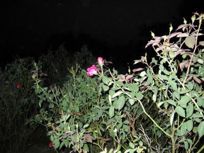 Rose02_3